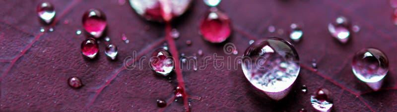 Mikrowasser-Tropfen auf purpurrotem Betriebsblatt lizenzfreie stockbilder