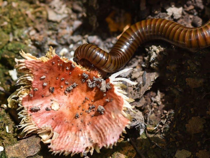 Milípede que come os cogumelos selvagens fotos de stock