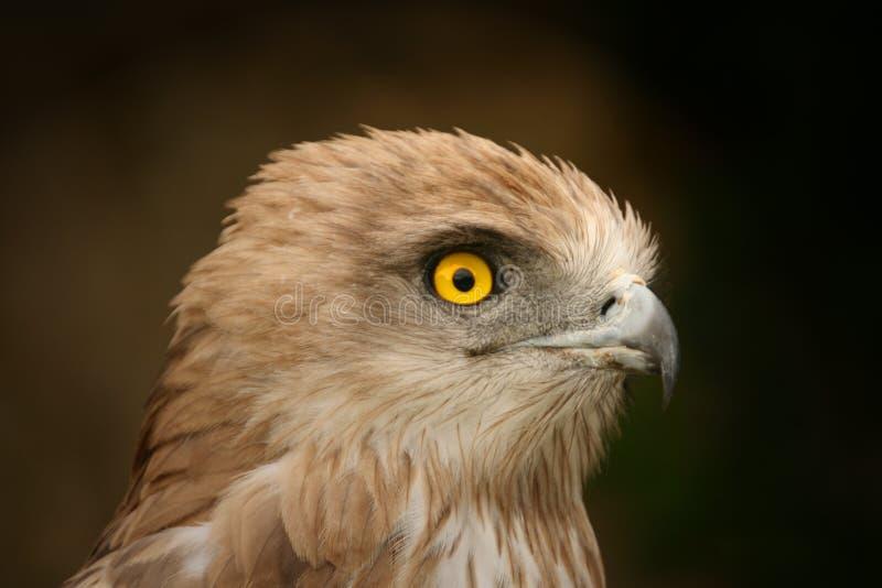 Milan. Portrait photo of a Milan/Eagle royalty free stock photo