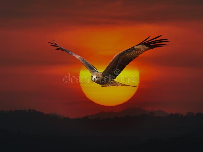 Download Milan noir image stock. Image du avien, chasseur, rapace - 45360275
