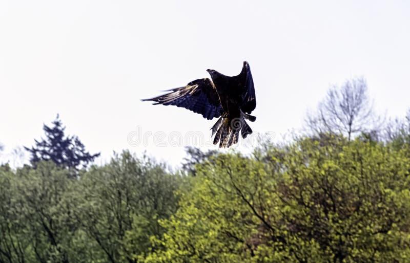 Milan noir volant - Warwick, le Warwickshire, Royaume-Uni images libres de droits
