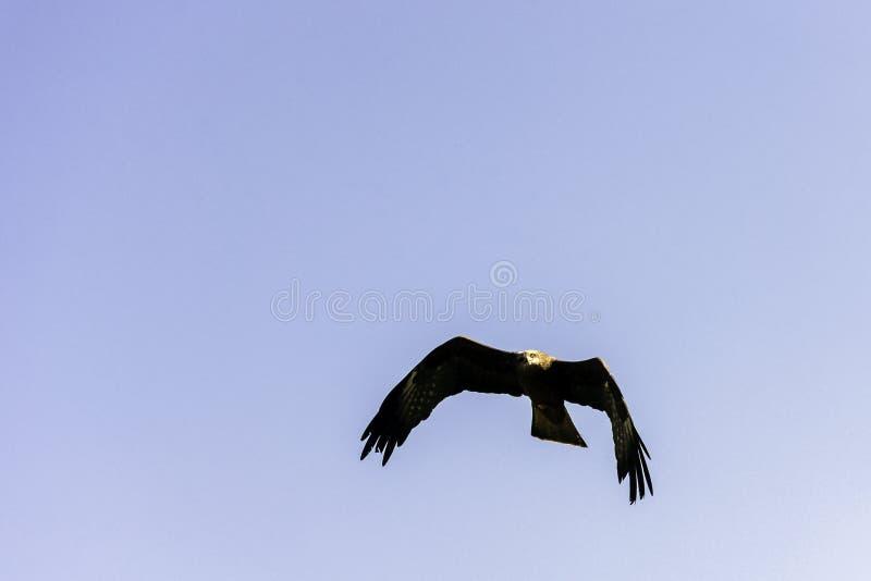 Milan noir volant - Warwick, le Warwickshire, Royaume-Uni photo stock