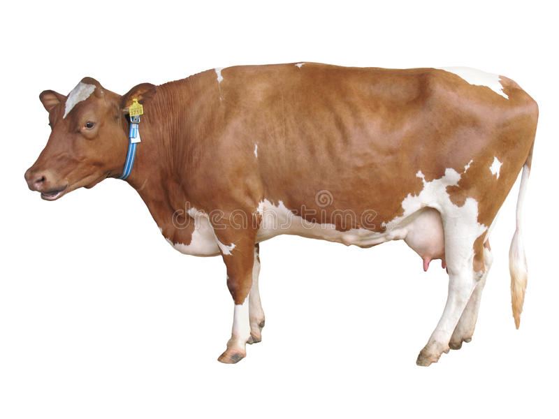 Milch koe die op wit wordt geïsoleerdt royalty-vrije stock afbeeldingen