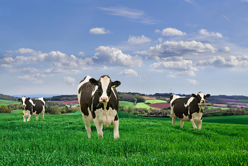 Milchkühe stockfotos