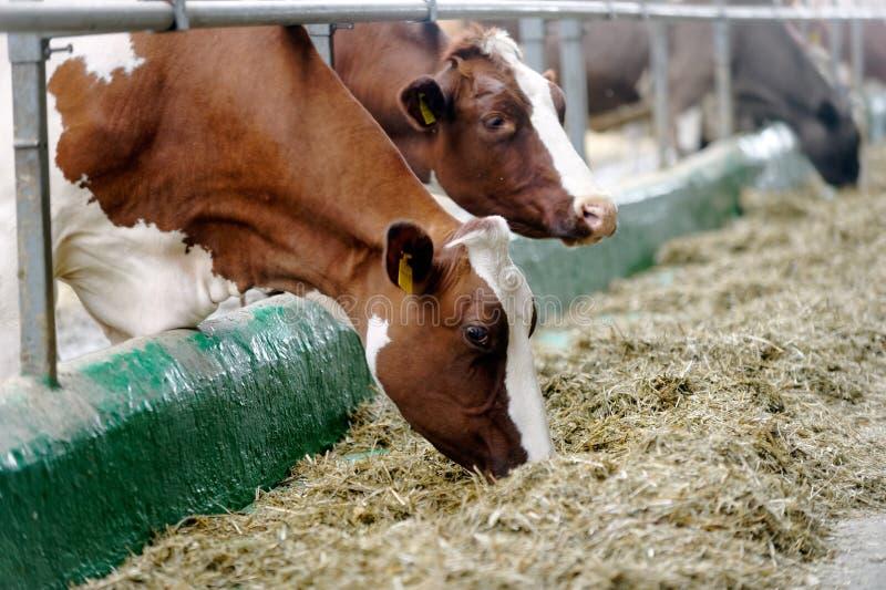 Milchkühe in einem Bauernhofkuhstall lizenzfreies stockfoto