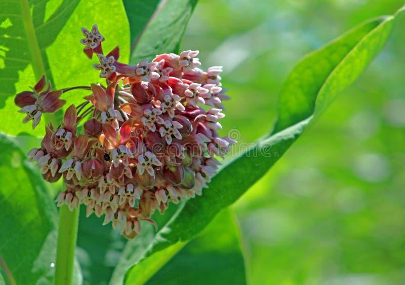 Milchkrautblumen mit grünen Blättern lizenzfreies stockfoto