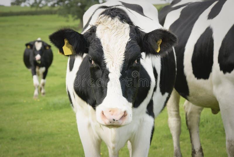 Milchkuh in der Weide lizenzfreie stockfotos