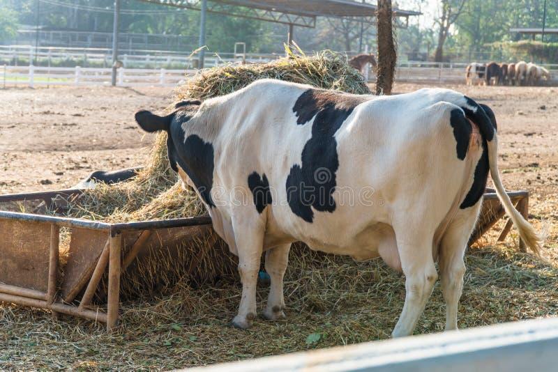 Milchviehkuh im Bauernhof lizenzfreie stockfotos