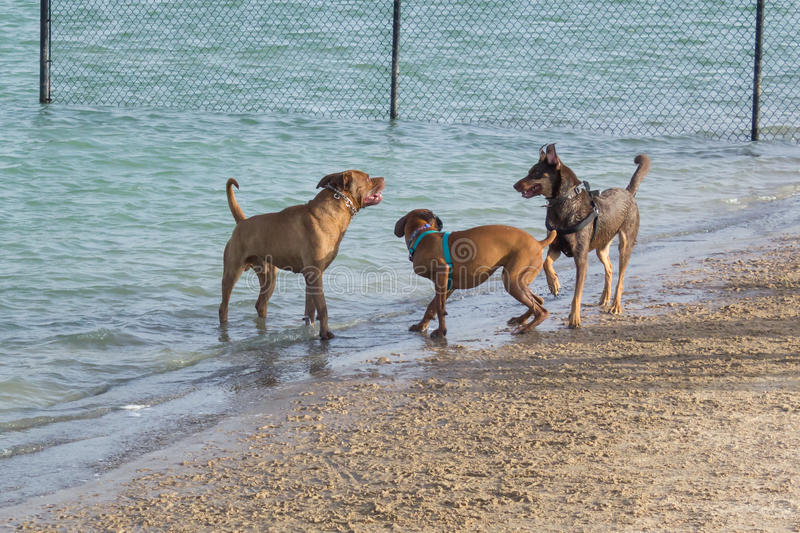 Mild confrontation at a beach in a dog park. Aggressive behavior in a dog park in its mildest stage. Boxer mix cowers between a pit bull mix and a German royalty free stock photography