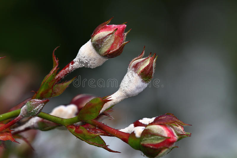 Mildew em rosas. foto de stock