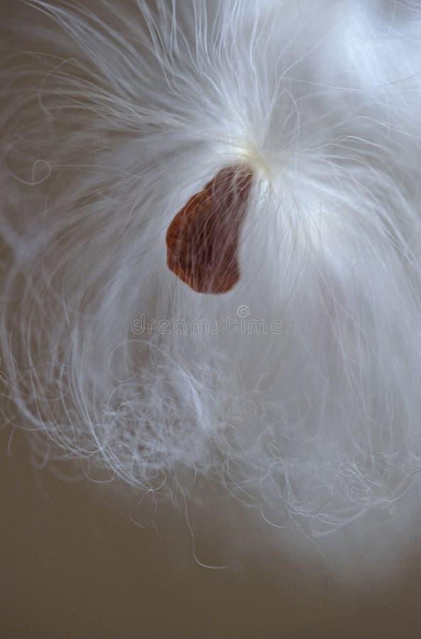 Mildweed dal baccello nella caduta fotografia stock