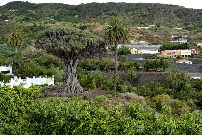Milenarian-Drachenbaum, Icod de Los Vinos lizenzfreie stockfotos
