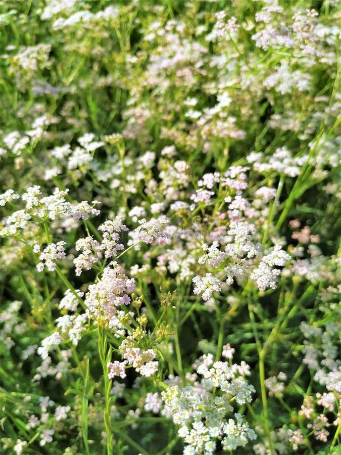 Milenrama de la planta medicinal, pequeñas flores rosadas en un fondo de hojas verdes imagenes de archivo