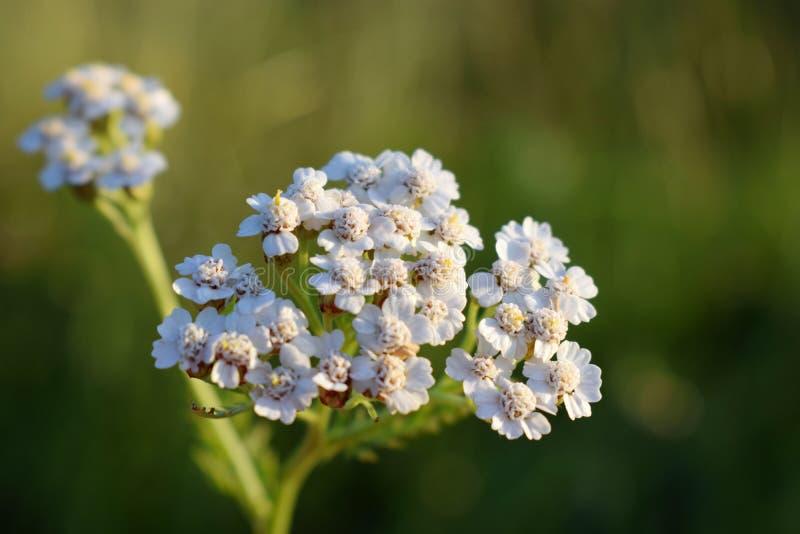 Milenrama Millefolium de Achillea foto de archivo libre de regalías