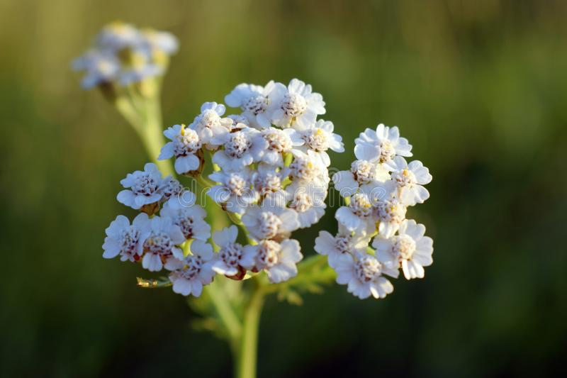 Milenrama Millefolium de Achillea fotografía de archivo