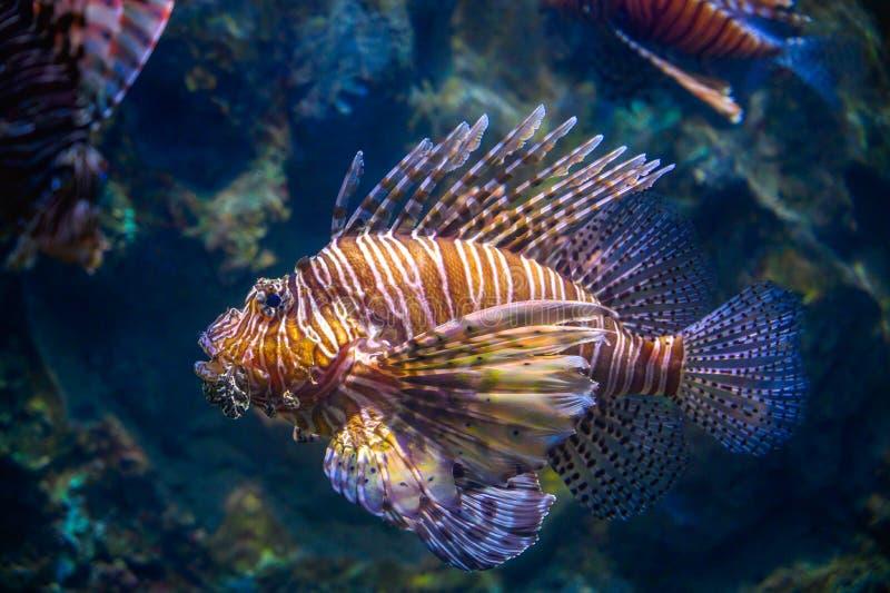 Miles lionfish Pływanie w korale pod wodą obraz stock