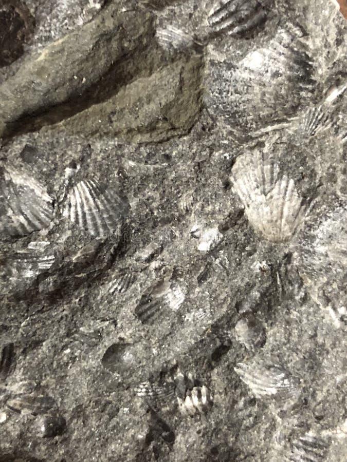 Milhões de imagem de fundo fossilizada velha dos shell dos anos imagem de stock