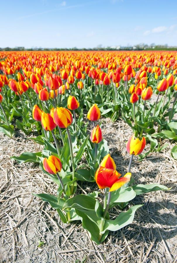 Milhões dos tulips imagens de stock
