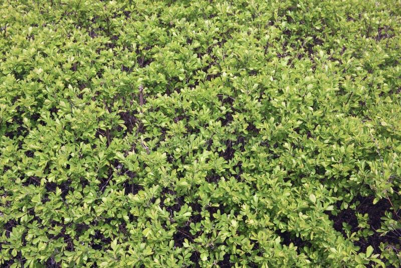 Milhares de folhas verdes pequenas em um arbusto da mola foto de stock