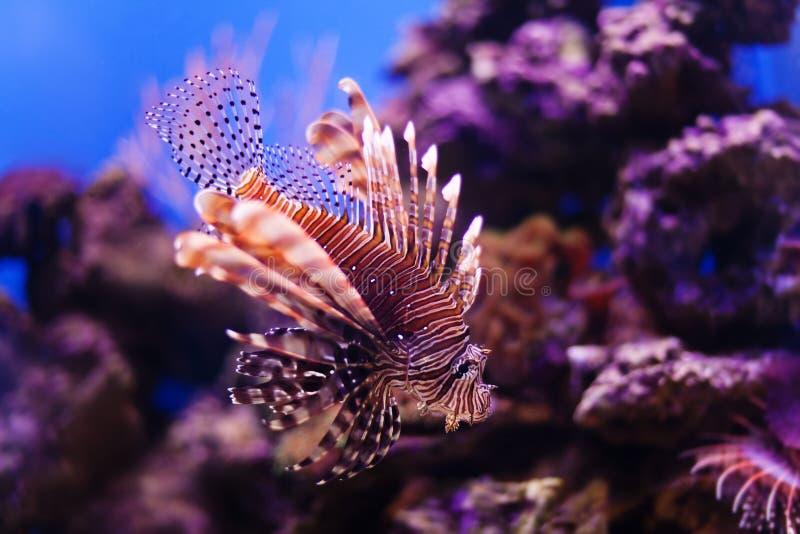 Milhas vermelhas do Pterois do lionfish que nadam a caça no oceano Close-up venenoso perigoso dos peixes Fundo coral da natureza foto de stock royalty free
