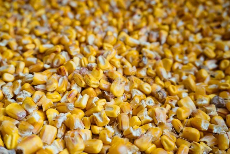 Milho amarelo do milho para a alimentação animal fotos de stock royalty free