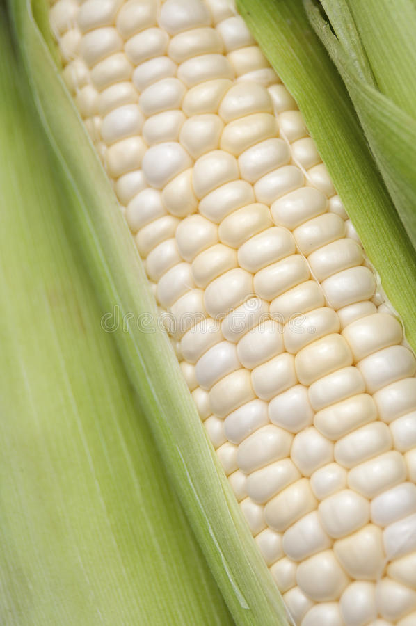 Milho branco orgânico imagens de stock