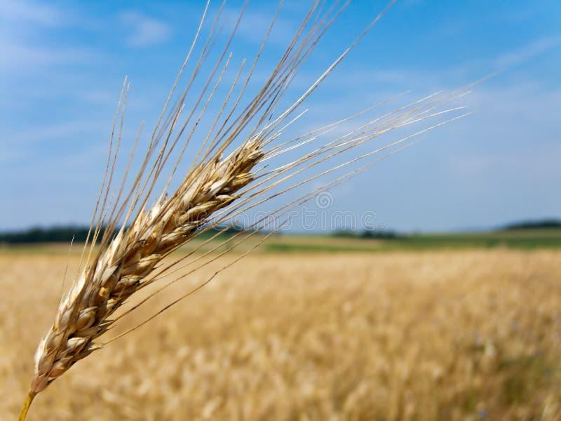 Milho de campo do milho com cevada imagem de stock royalty free
