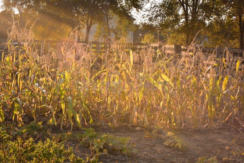 Milho doce no jardim imagens de stock