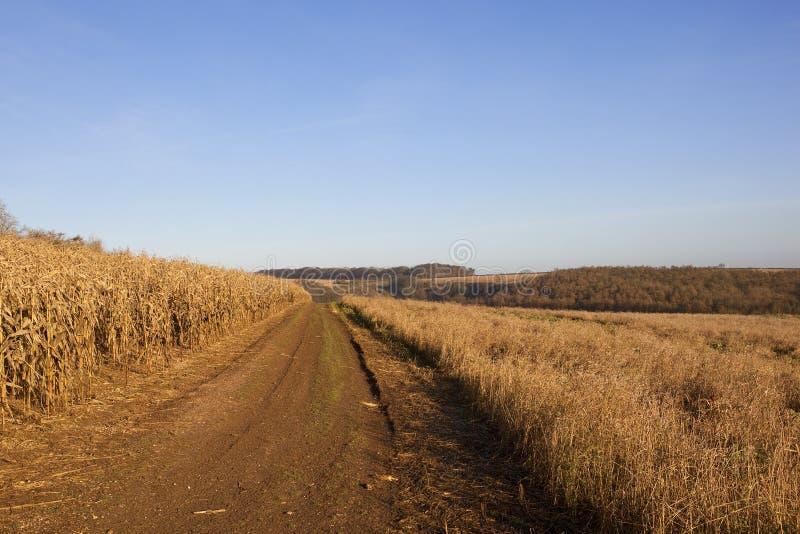 Milho dourado com trilha e floresta fotografia de stock