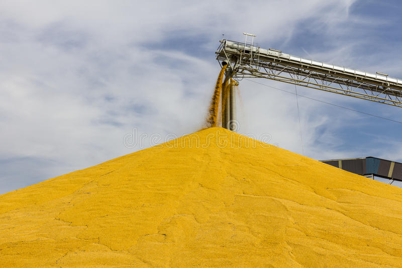 Milho e grão que seguram ou que colhem o terminal O milho pode ser usado para o alimento, a alimentação ou o álcool etílico III imagem de stock