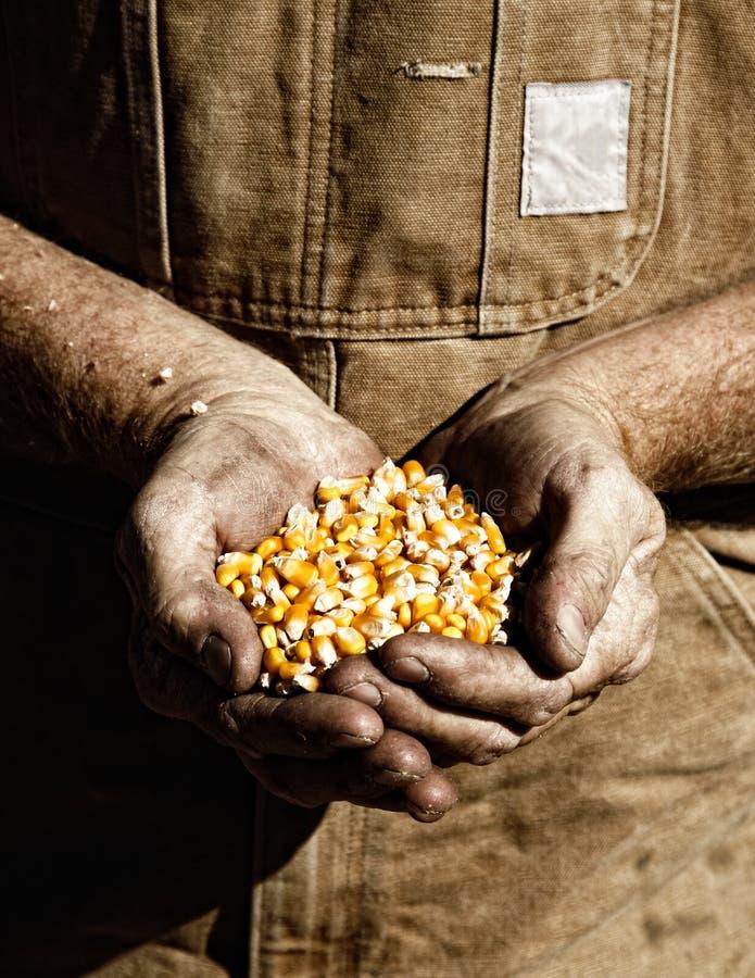 Milho nas mãos do fazendeiro foto de stock