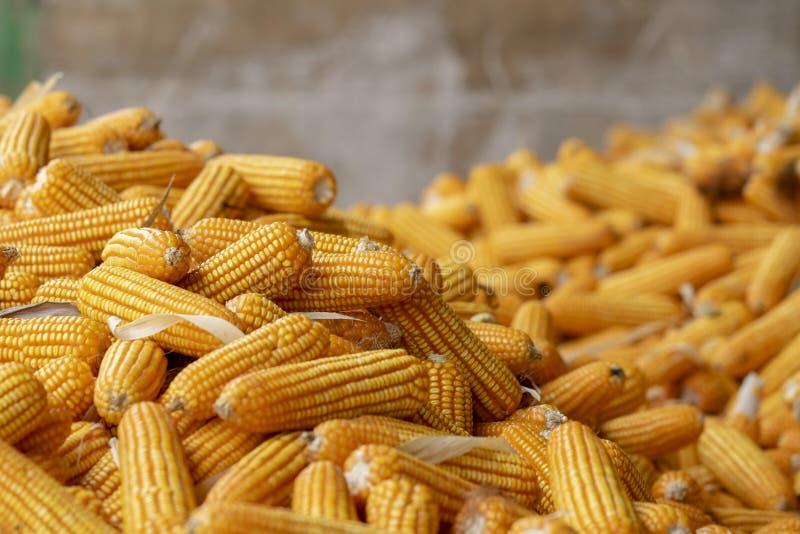 Milho ou milho para processar na forragem amarela Feche acima do quadro fotografia de stock