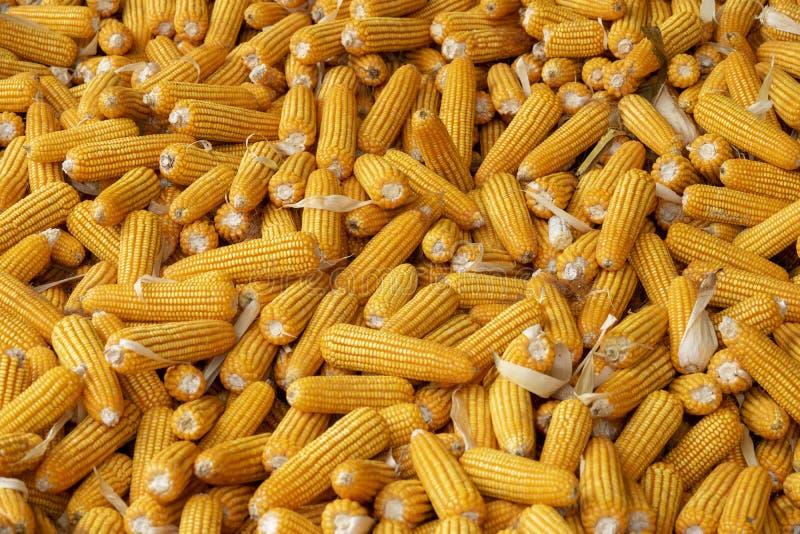 Milho ou milho para processar na forragem amarela Frame cheio fotografia de stock