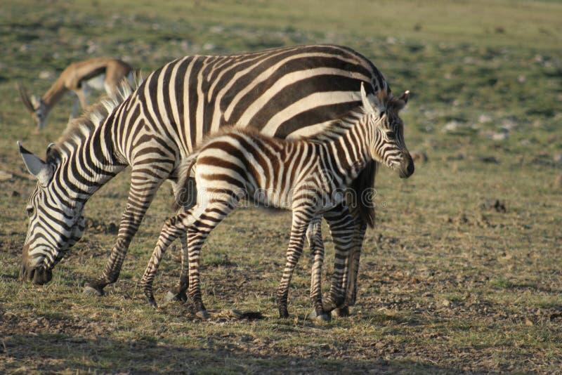 Milia de Burchells Punda del Equus de las cebras comunes imagen de archivo