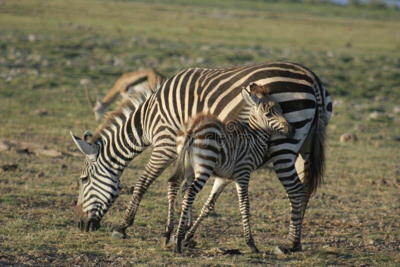 Milia de Burchells Punda del Equus de las cebras comunes fotografía de archivo
