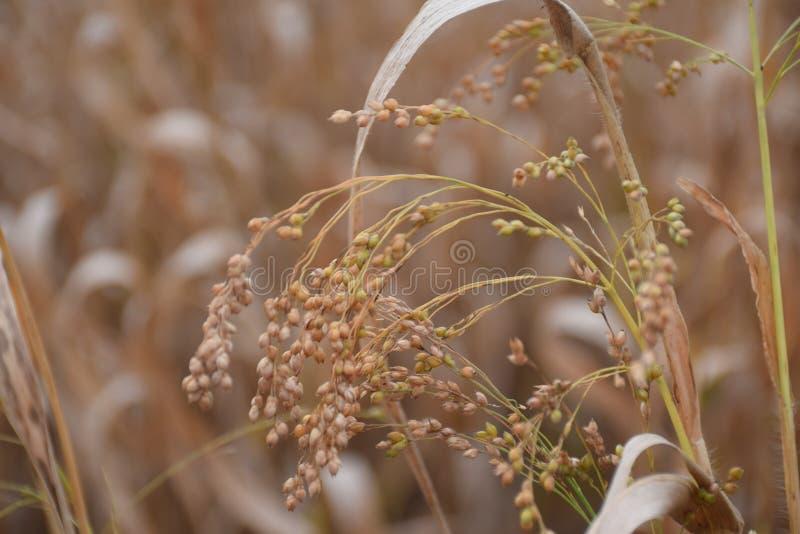 Miliaceum do Panicum fotografia de stock royalty free