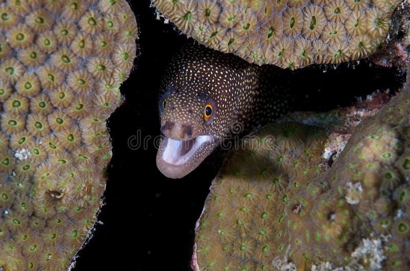 Miliaris de la Anguila-Gymnothorax del Moray de Goldentail fotografía de archivo libre de regalías