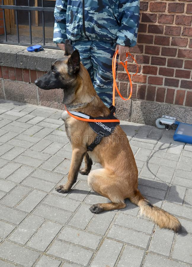 Milicyjny strażowy pies siedzi na chodniczku przeciw tłu cynologist obrazy stock