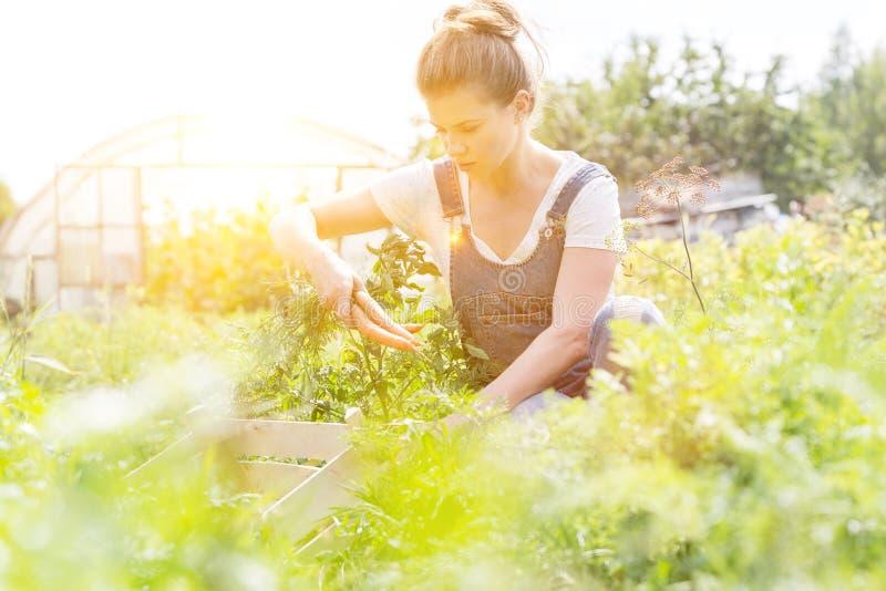 Milieu de l'agriculteur adulte qui récolte des carottes à la ferme avec la lumière jaune en arrière-plan photographie stock libre de droits