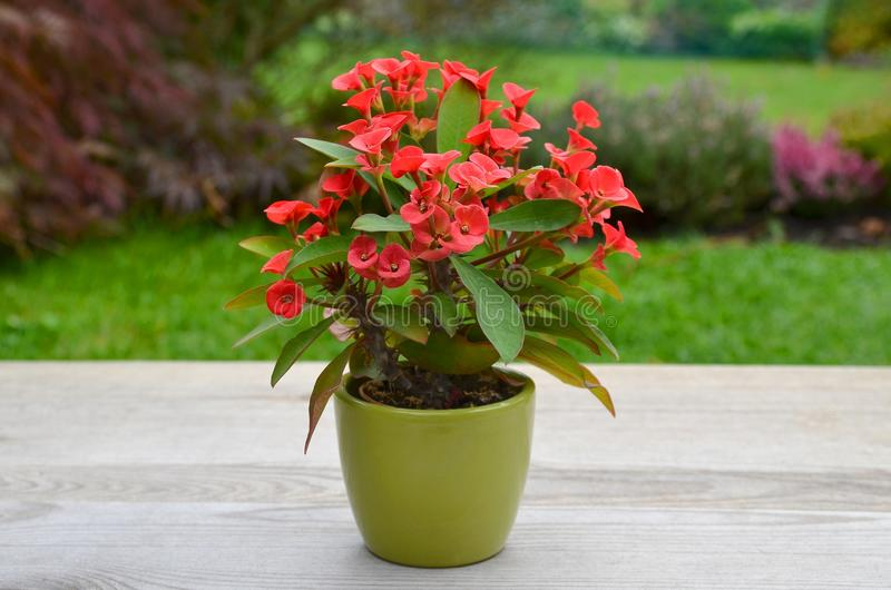 Milii do eufórbio da flor imagem de stock