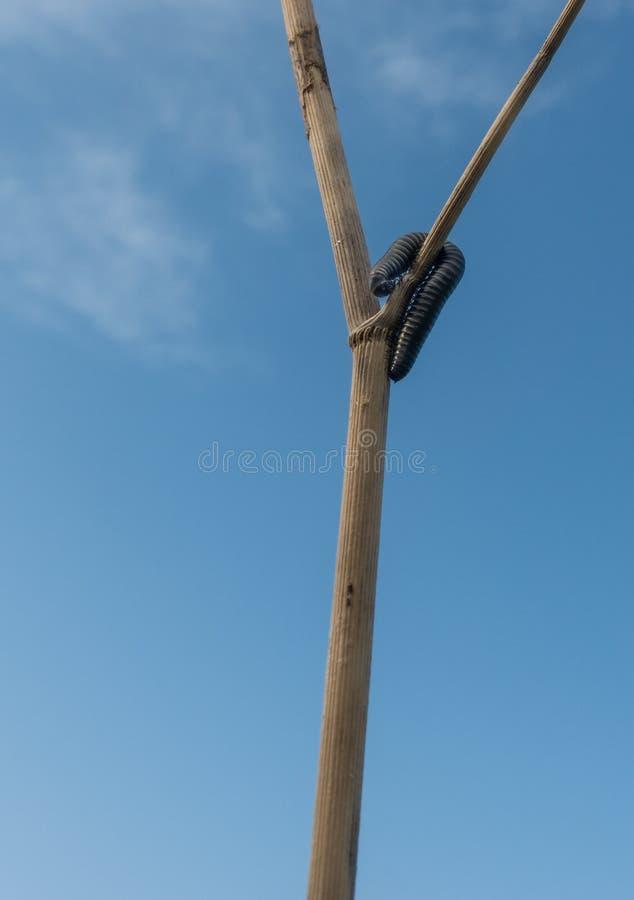 Milipede op een hoge tak met blauwe hemel stock fotografie