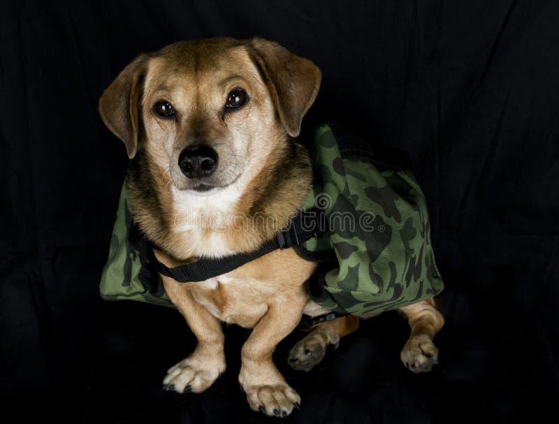 Militaire werkende hond stock foto