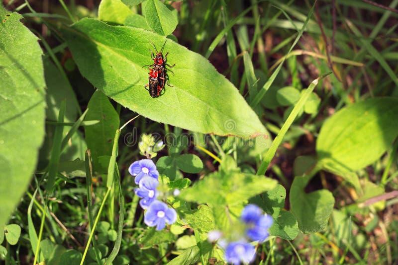 Militairkevers of leatherwings die in het gras in paren rangschikken stock afbeeldingen