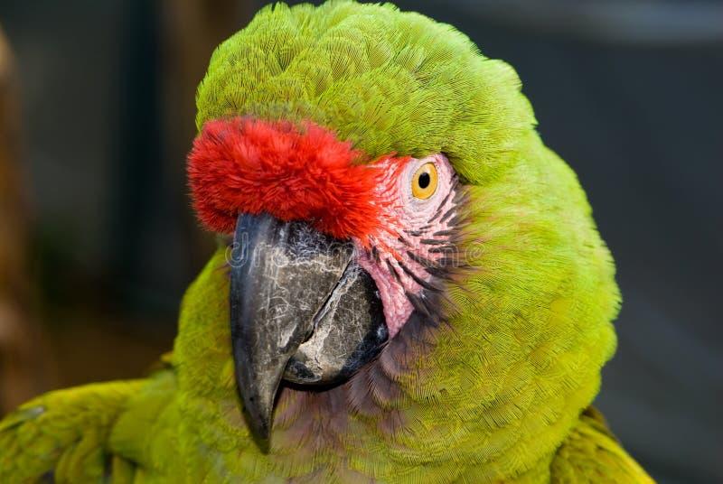 militaris de macaw d'ara militaires photographie stock libre de droits