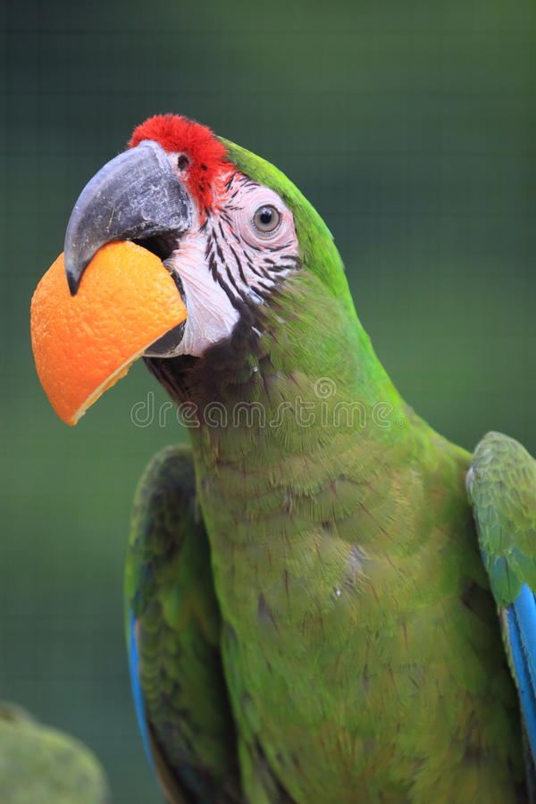 Military macaw. The detail of military macaw with the piece of orange in its mouth stock photo