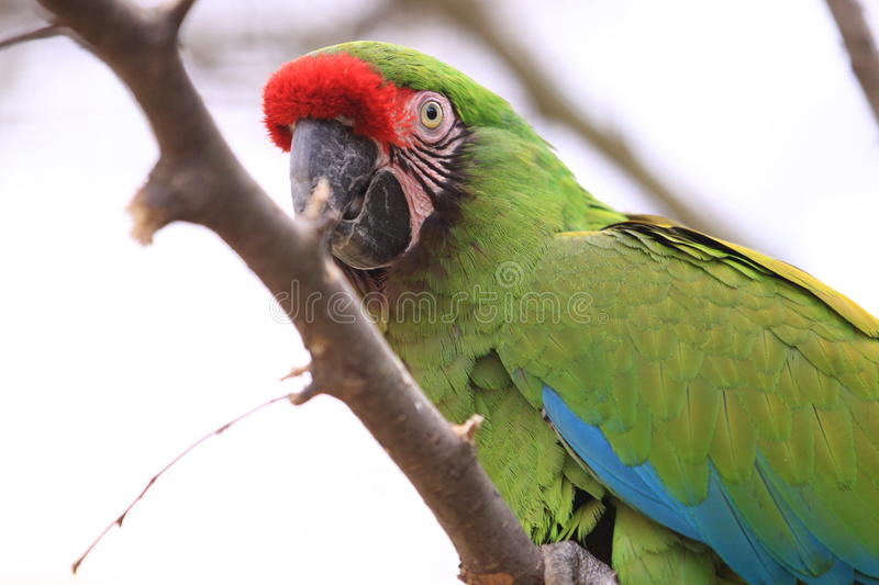 Military macaw. The military macaw on the branch royalty free stock photo