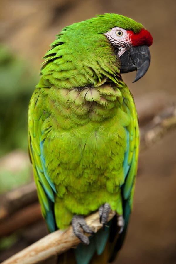 Military Macaw (Ara militaris). Closeup of a Military Macaw (Ara militaris stock images