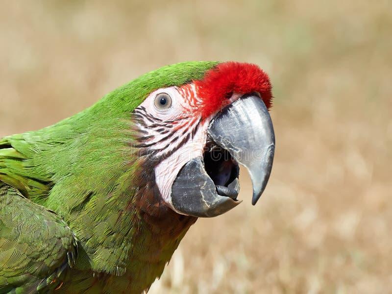 Military Macaw (Ara militaris). Closeup portrait of the beautiful Military Macaw stock images