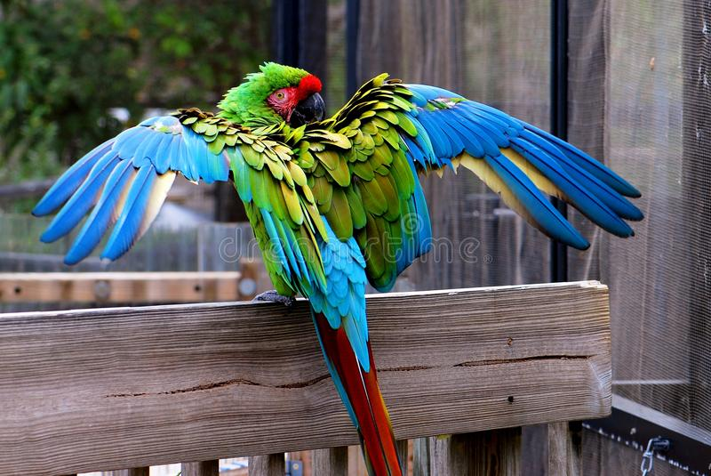 Military macaw bird wings open royalty free stock photo