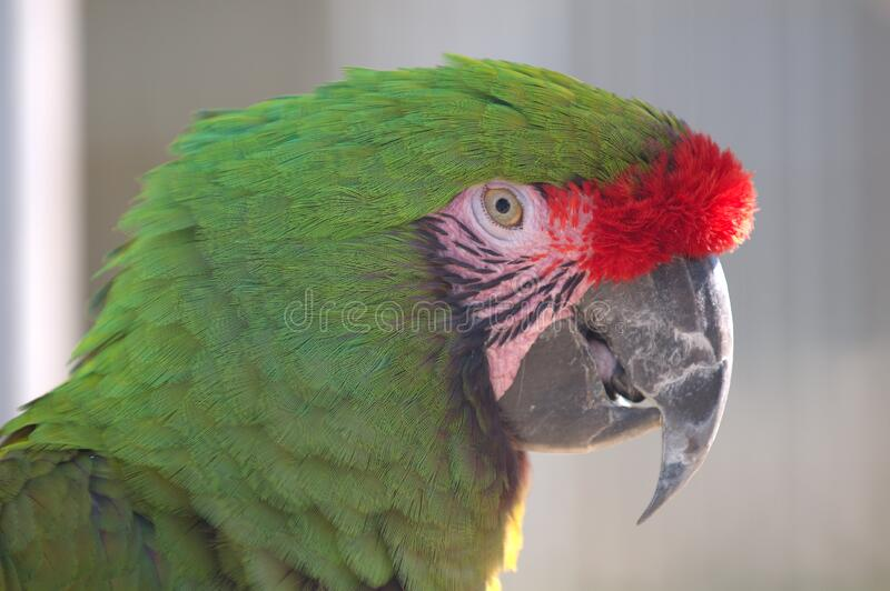 Military Macaw Closeup Free Public Domain Cc0 Image